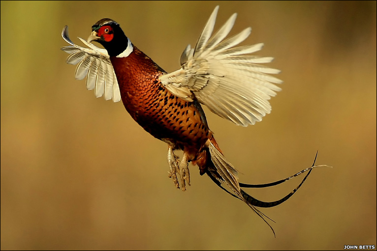 pheasant-england